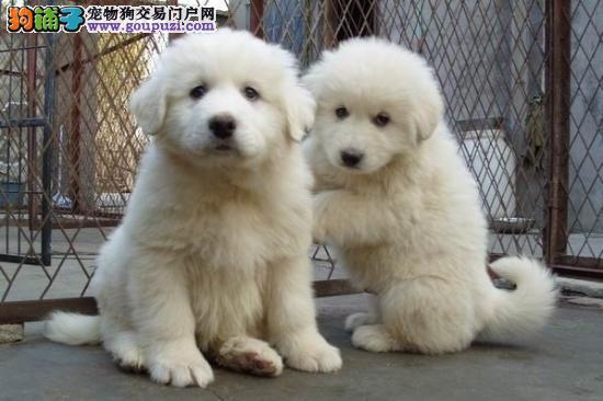 精品大白熊幼犬 疫苗做齐 签订活体协议
