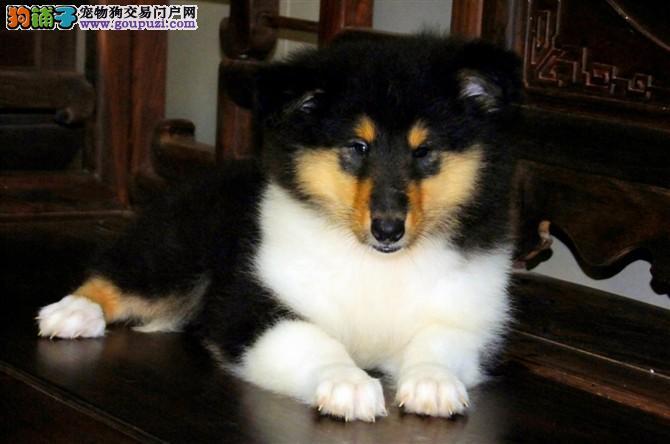 贵族高品质苏格兰牧羊犬幼犬 可爱活泼 血统纯种