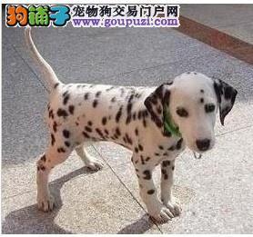 纯种斑点犬大麦町犬幼犬健康