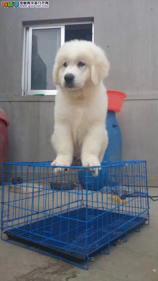 高贵优雅的气质,聪慧温和大白熊幼犬
