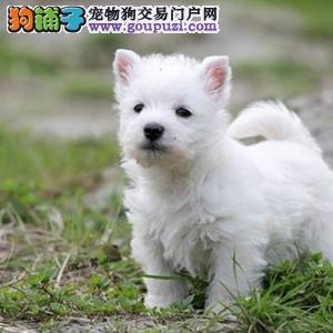 武汉犬业协会指定西高地宝宝销售中心