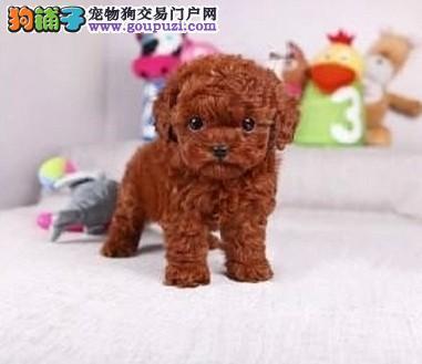 成都出售纯种泰迪犬 成都能买纯种健康泰迪熊