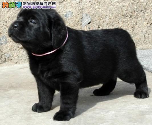 拉布拉多导盲犬 拉布拉多犬多少钱拉布拉多图片