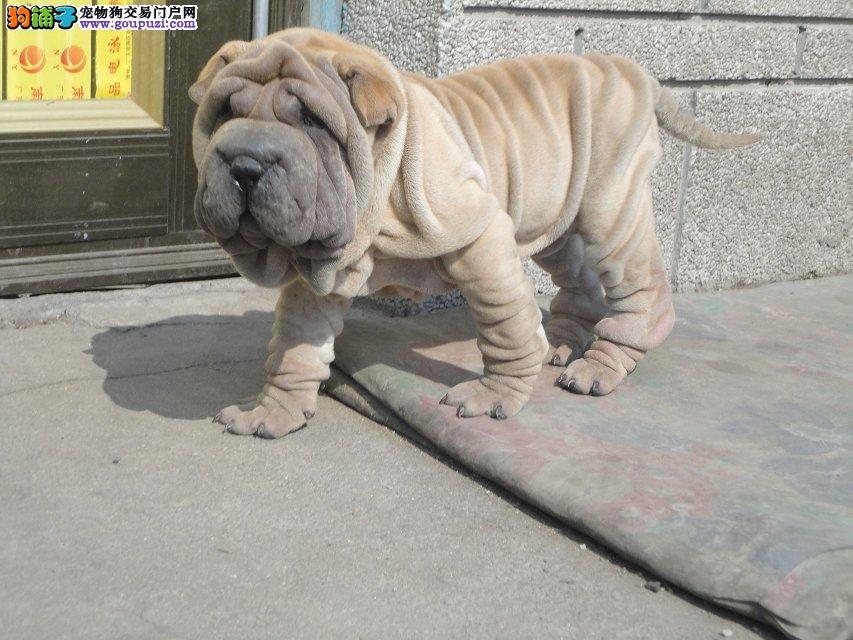 哪里有出售纯种沙皮幼犬保证健康