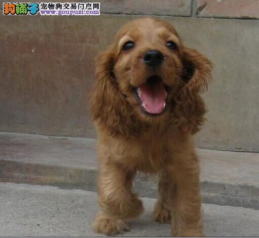 Re:广州哪里有卖可卡犬广州可卡犬价格广州纯种可卡犬