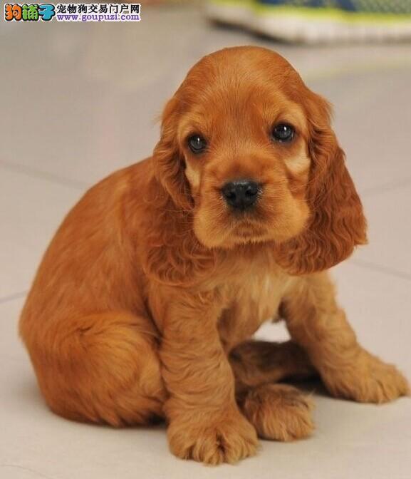 河南哪里有卖纯种可卡,我家有方便的来看看狗狗吗