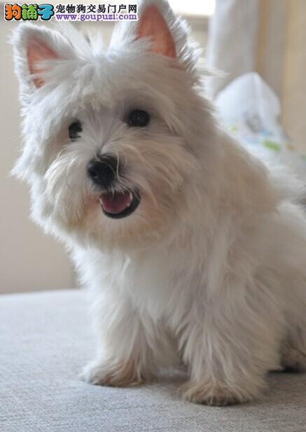 家中绝对是可以保证健康的西高地幼犬崽子等着你来