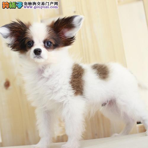 纯种犬舍常年出售蝴蝶犬,实物拍摄。健康包养活
