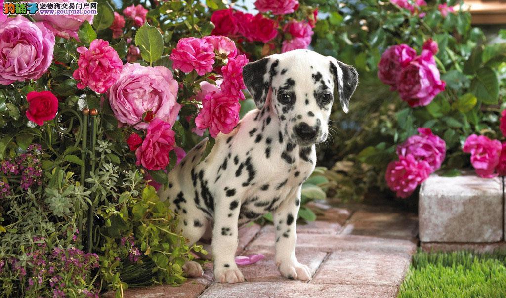 武汉犬业协会指定斑点狗宝宝销售中心