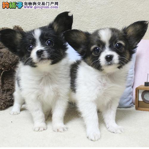 出售纯种蝴蝶犬幼犬黑白色和黄白色。