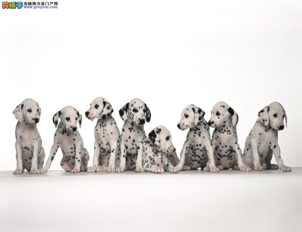 欧尚犬业出售纯种斑点犬—希望能找到喜欢他的主人。
