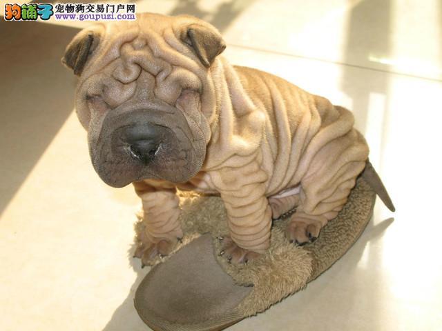 双血统赛级沙皮幼犬 公母都有 可办理血统证书