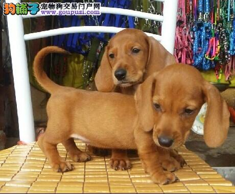 出售腊肠犬幼犬品质好有保障市内免费送货