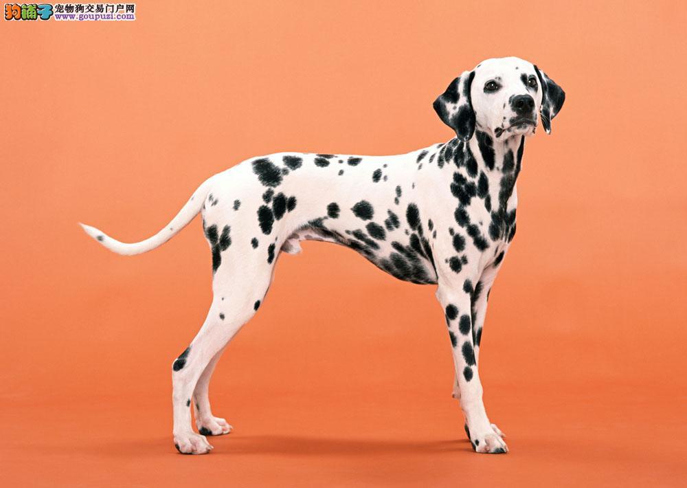专业繁殖斑点犬 价钱低 血统证书芯片齐全