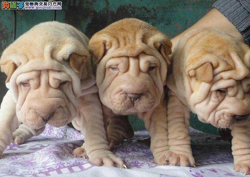 杭州沙皮犬哪里有卖的 纯种沙皮犬价格多少钱
