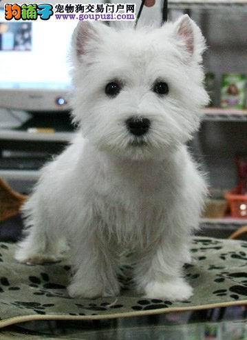 宠物出售/高品质西高地幼犬