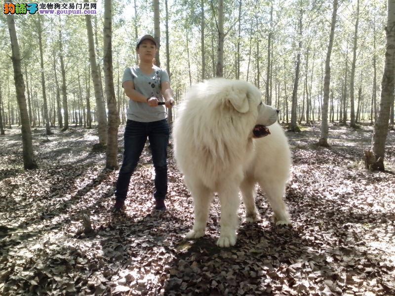 重庆雪色大白熊大自然赐予我们的最好的爱犬