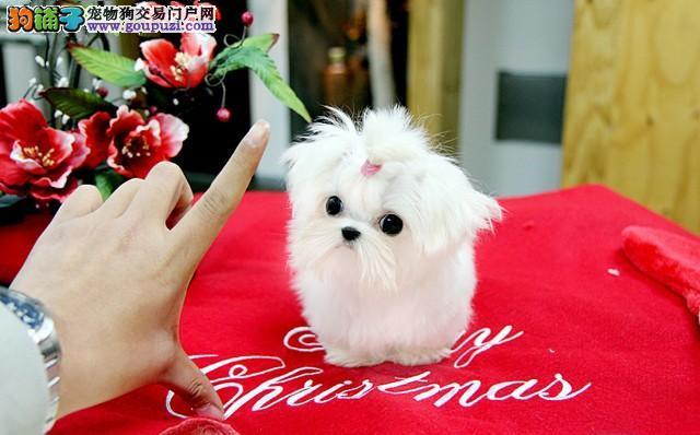 韩系马尔济斯犬纯种健康血统纯正高贵十足
