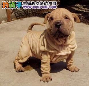 精品沙皮犬 名犬繁殖基地 保证健康纯种