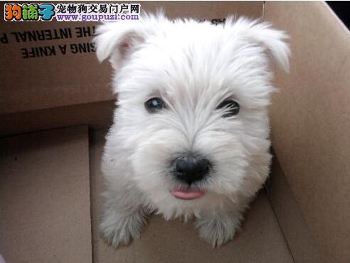 犬舍直销血统纯正西高地宝宝 特价出售