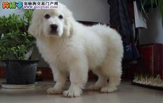 雄伟威严的体态,高贵优雅的气质,聪慧温和大白熊幼犬