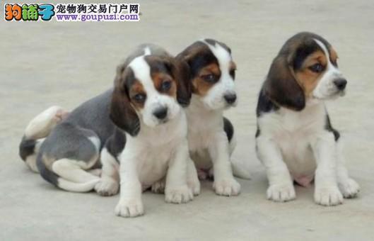 武汉那里有卖纯种高品质比格犬 武汉边度有卖比格犬