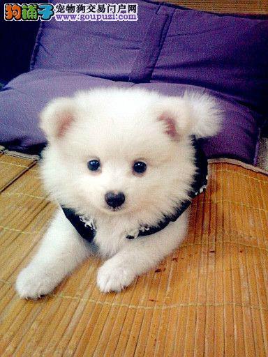 出售正宗血统优秀的上海银狐犬上海当地上门挑选