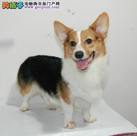 宁波哪里出售柯基犬 柯基犬价格多少钱