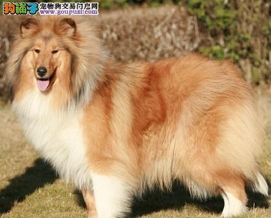 云南犬场纯种苏牧幼犬1300-1600(自选/送货/快运)