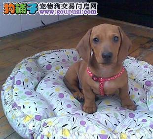 大型专业培育腊肠犬幼犬包健康可直接视频挑选