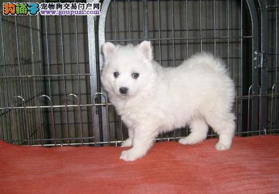 纯种犬培育中心出售顶级银狐幼犬 品相完美签订协议