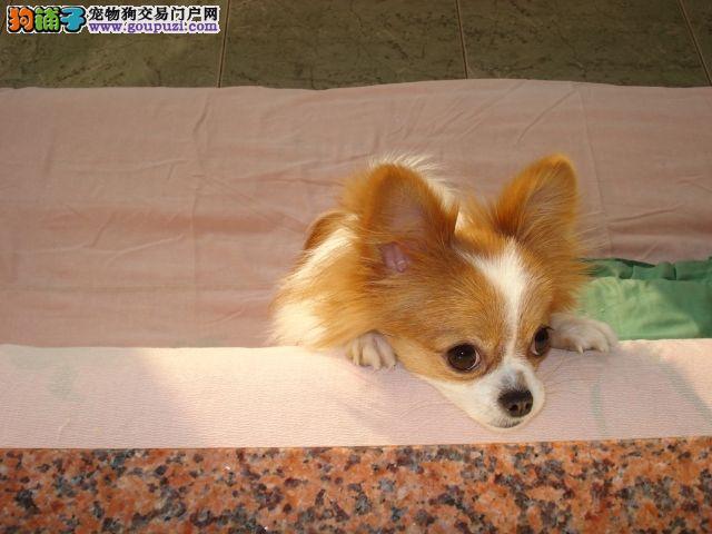 郑州热销蝴蝶犬颜色齐全可见父母均有三证保障