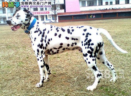 高端斑点狗幼犬、假一赔十品质第一、寻找它的主人