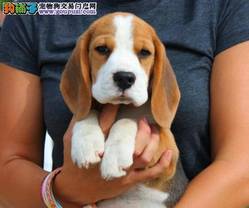 出售正宗血统优秀的兰州比格犬喜欢来电咨询