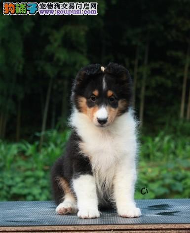 维斯迪宠物店出售喜乐蒂幼犬、纯正血统、健康第一