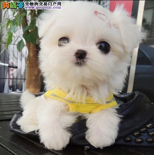 完美品相血统纯正贵阳马尔济斯出售购犬可签协议