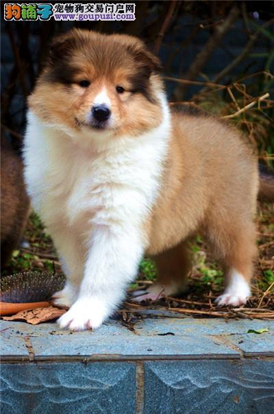 纯种苏牧赛级犬证书芯片齐全可以签订协议