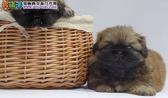 杭州哪里有纯种京巴幼犬出售 老人的最爱