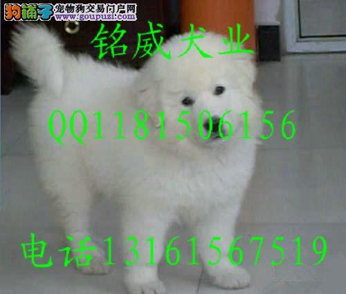 CKU认证犬舍 专业繁殖 大白熊幼犬 购买有保证