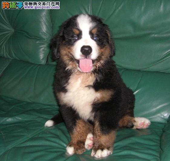 CKU认证犬舍 专业繁殖 伯恩山幼犬 购买有保证。