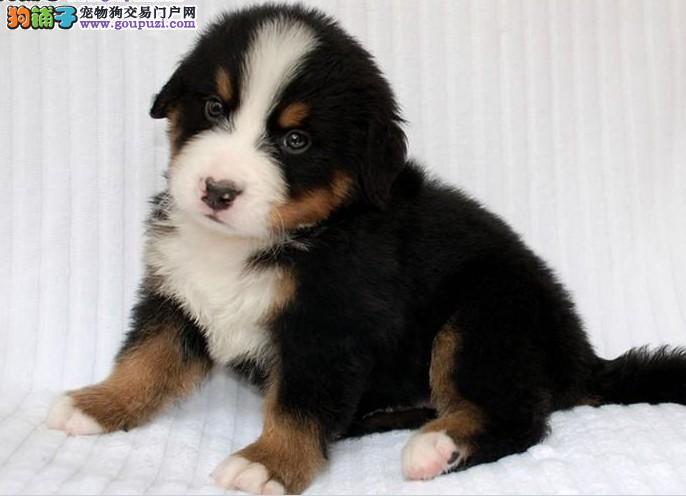 赛级 CKU认证犬舍 精品 价钱低 伯恩山犬 购买有保证
