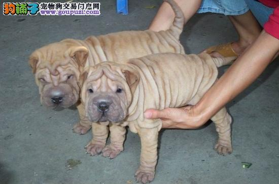 极品纯种沙皮犬在这里优惠纯种和健康可签协议