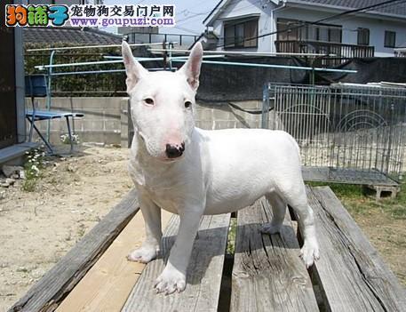 广东专业名犬养殖场提供各大中小型犬类:牛头梗