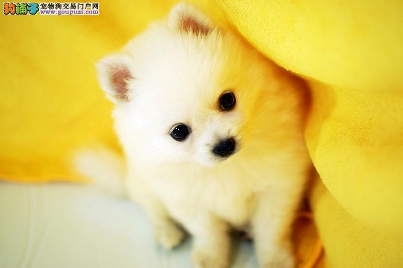 南京银狐犬卖多少钱 家养银狐犬多少钱
