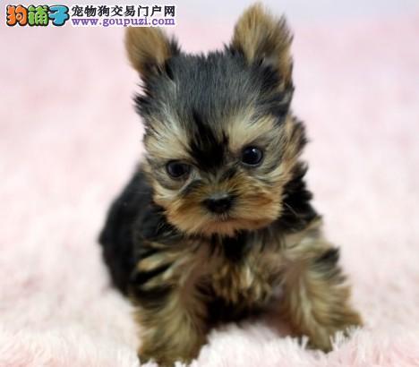 南京出售家养纯种约克夏可爱活泼疫苗驱虫都做了