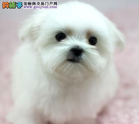 出售纯种马尔济斯宝宝 品相好 保健康 高品质幼犬