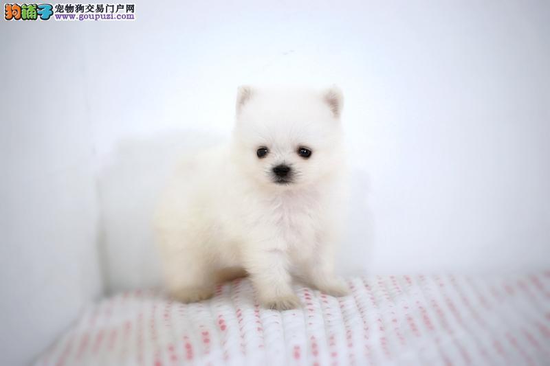 银狐犬 日本尖嘴幼犬得福犬业出售银狐幼犬