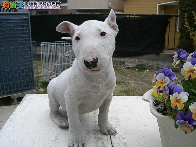 出售纯种牛头梗幼犬有海盗眼.纯白等颜色可选 疫苗齐全