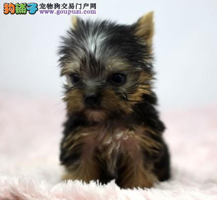 深圳金头银背纯种约克夏幼犬 体型娇小颜色完美
