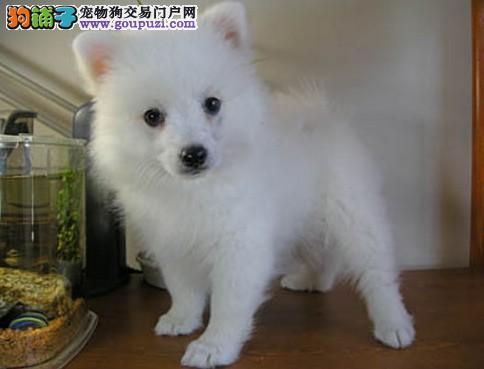 出售郑州银狐犬专业缔造完美品质签订三包合同